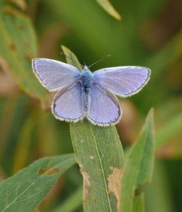 Common Blue butterfly, male, MJMcGill (2)_edited-1