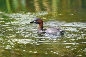Little Grebe, MJMcGill (3) copy