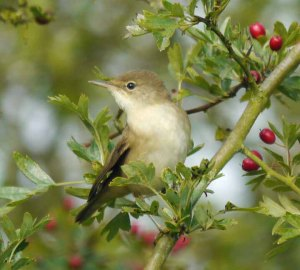 Reed Warbler, 28-08-14, MJMcGill (1) copy