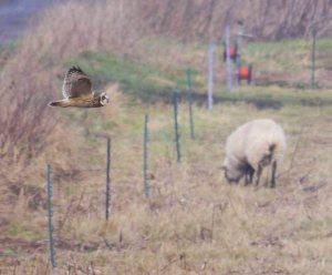 Short-eared Owl, Holme Fen