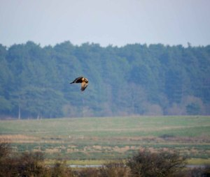 Marsh Harrier, Holkham