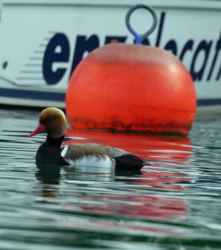 Red-crested Pochard, Ouchy, Lake Geneva, MJMcGill