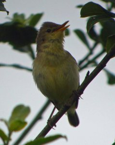 Melodious Warbler , MJMcGill
