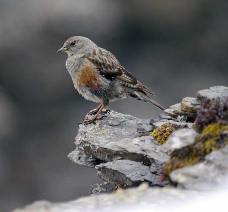Alpine Accentor, Shilthorn, Switzerland, 001, MJMcGill