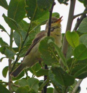Melodious Warbler, Marsh Lane 2