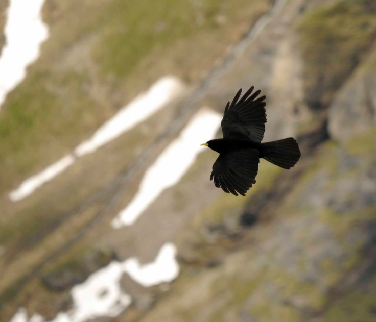 Alpine Chough, Shilthorn, Swiss Alps, MJMcGill