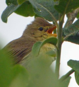 Melodious Warbler, MJMcGill