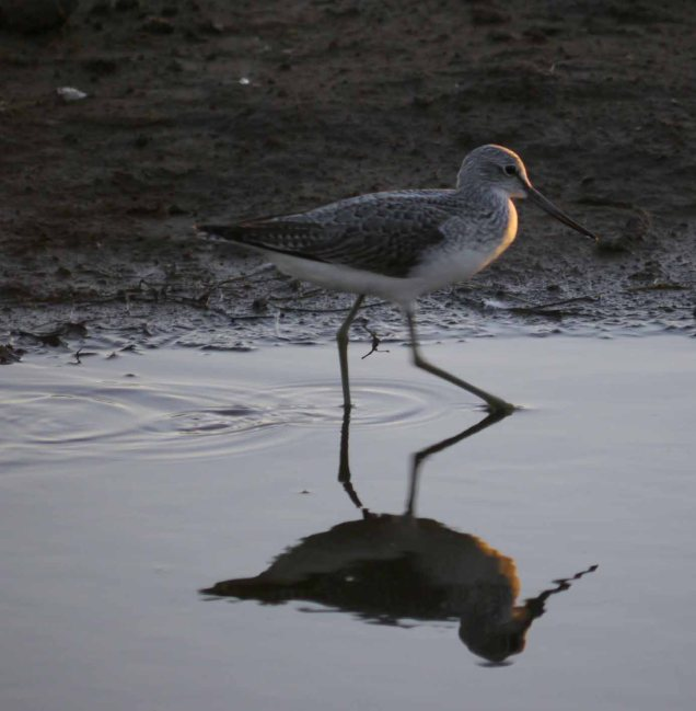 Greenshank at sunset, Frampton Marsh, MJMcGill