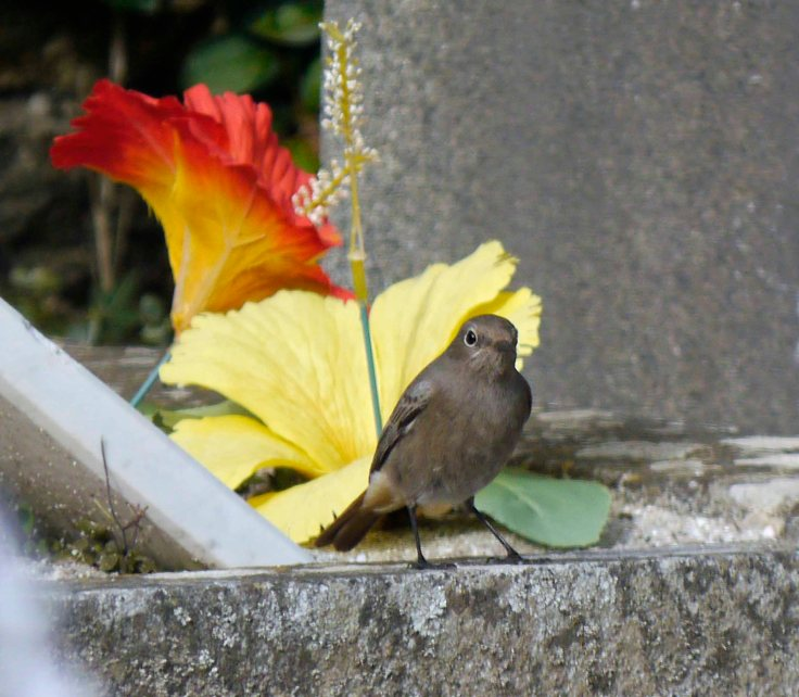Black Redstart, Ile de Molene