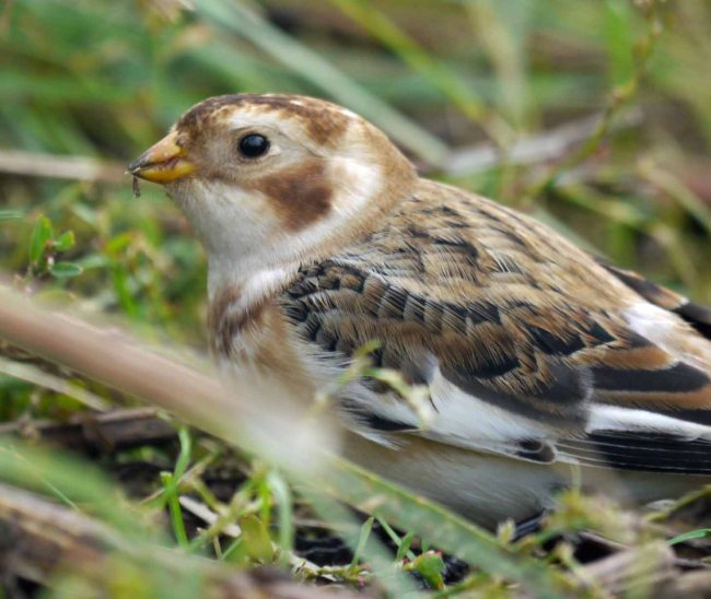 Snow Bunting, Cley, MJMcGill