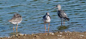 Spotted Redshanks, Gib Point, MJMcGill
