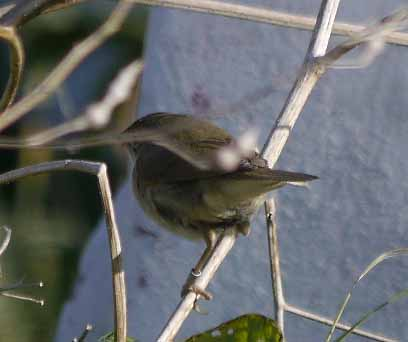 Blyth's Reed Warbler, L'Ile de Sein MJMcGill, 2