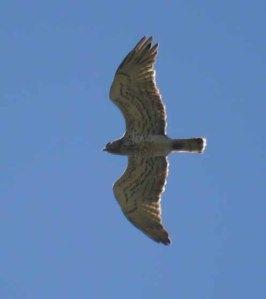 Short-toed Eagle, Cortes de la Frontera, MJMcGill