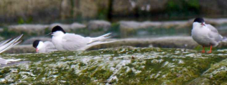 Roseate Tern 1