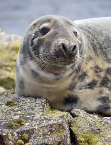 Grey Seal, Farne Islands, MJMcGill 2