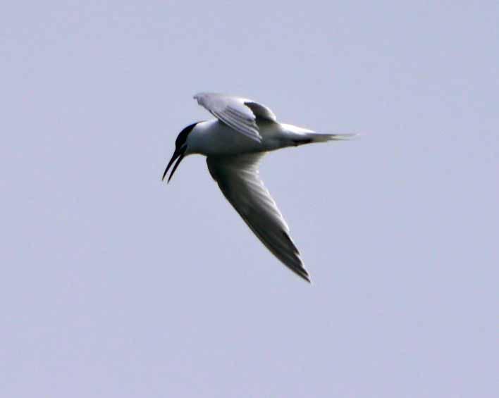 Sandwich Tern 1