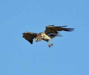 Short-toed Eagle, MJMcGill