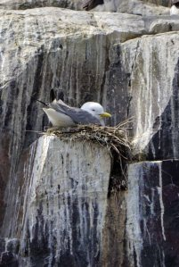 Kittiwake on nest, Inner Farne, MJMcGill