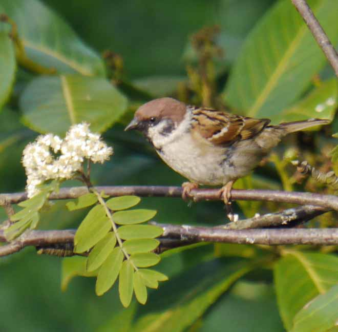 Tree Sparrow, 2, Northumberland