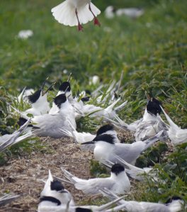 Sandwich Terns spiking