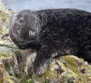 Grey Seal, Farne Islands, MJMcGill 3
