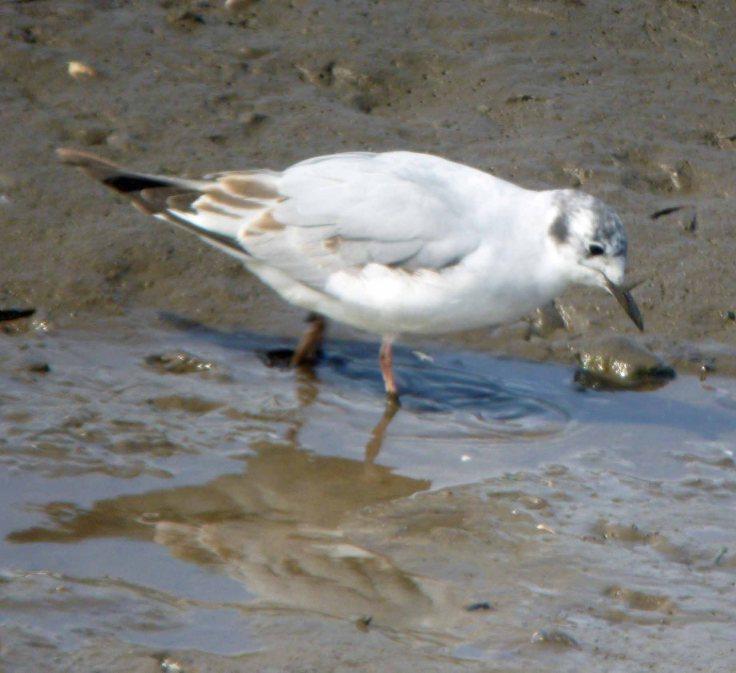 Bonaparte's Gull, MJMcGill