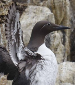 Guillemot, bridled, Farns Islands, MJMcGill