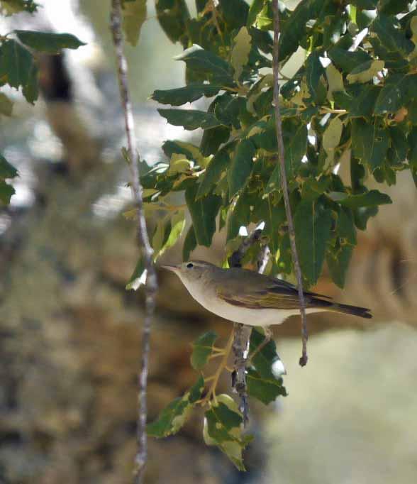 Bonelli's Warbler, Sierra de Grazelema, MJMcGill