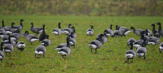Dark-bellied Brents, Norfolk, MJMcGill