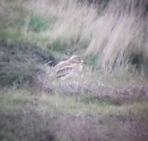 Stone Curlew, MJMcGill