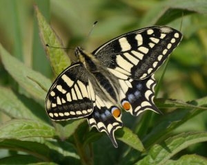 Swallowtail, Hickling Broad, MJMcGill