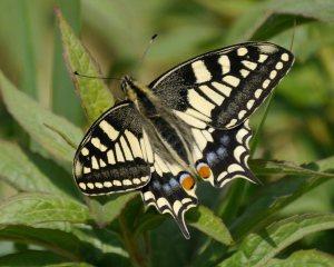 Swallowtail, Hickling Broad, MJMcGill
