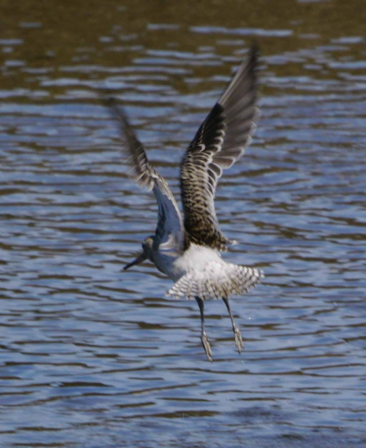 Bar-tailed Godwit in flight, MJM