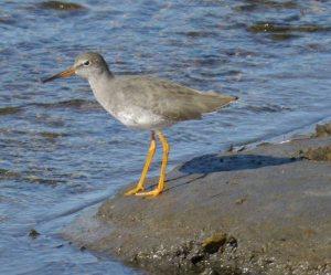 Redshank, Hayle Estuary, MJM