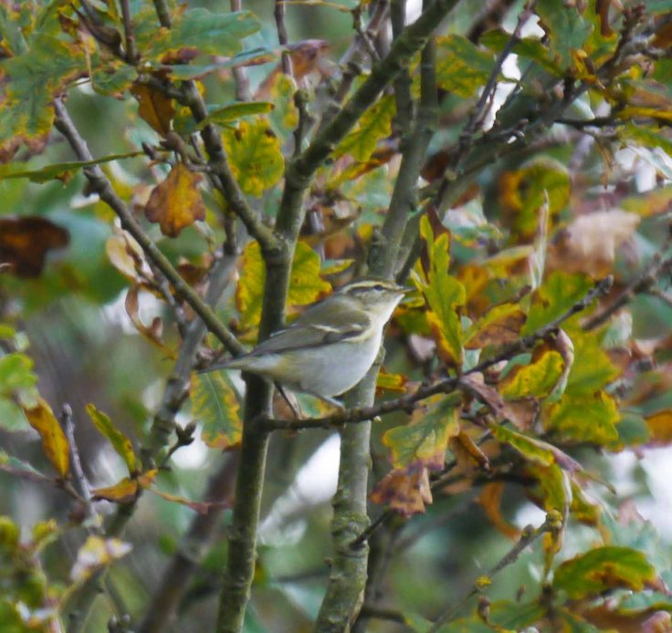 Yellow-browed Warbler, Kilnsea, MJMcGill