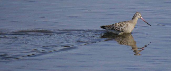 Bar-tailed Godwit, Copperhouse Creek, MJMcGill