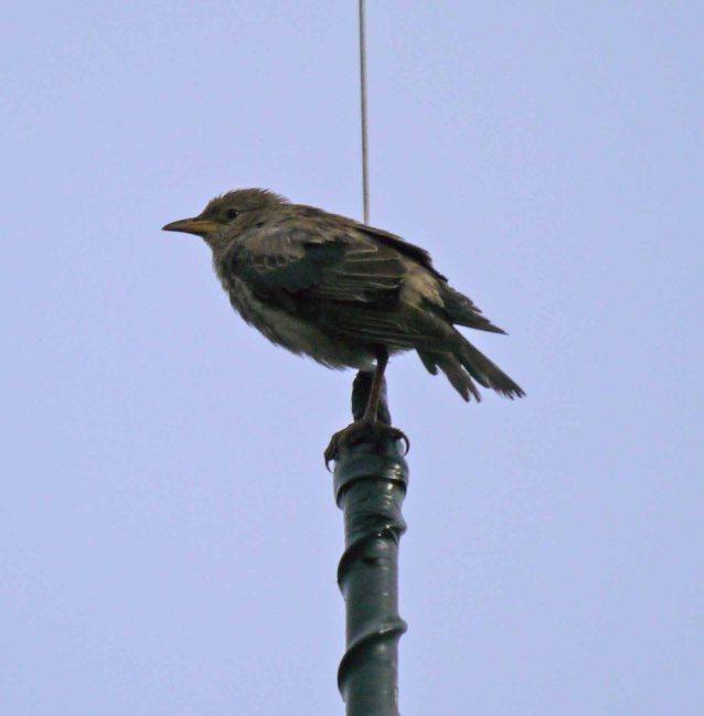Rose-coloured Starling, Easington, MJMcGill