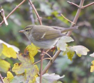 Two-barred Greenish Warbler, St Aldhelm's Head, MJMcGill
