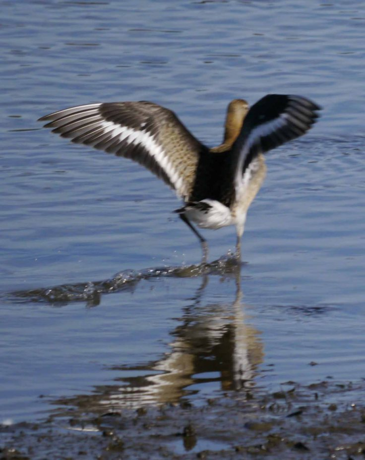 Black-tailed Godwit, CC