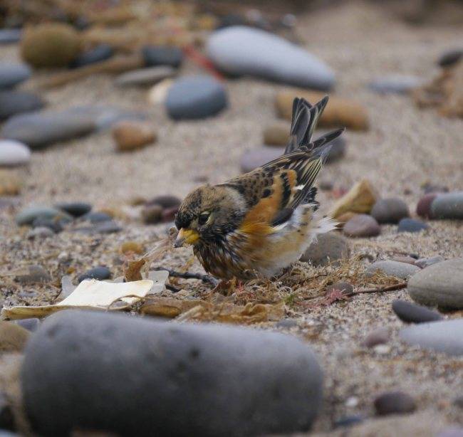 Brambling, Spurn, MJMcGill