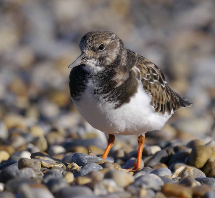 Turnstone, Salthouse, MJMcGill