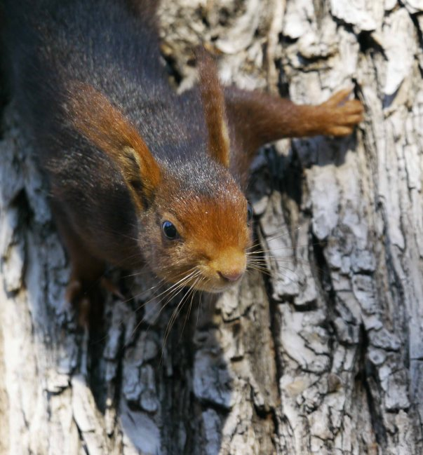 Red Squirrel, feeding on sap, Retiro Park, Madrid, MJMcGill (9)_edited-1