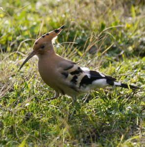 Hoopoe, Casa de Campo, Madrid, MJMcGill (4)_edited-1