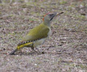 Iberian Woodpecker, Casa de Campo, MJMcGill