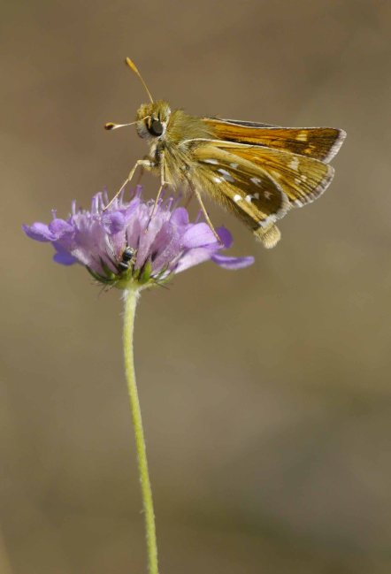 Silver-spotted Skipper, Fontmell Down, Dorset, MJMcGill (14)_edited-1