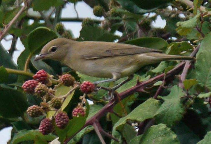 Juvenile Garden Warbler, Whitminster, home, MJMcGill