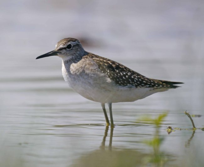 Wood Sandpiper, juvenile, Top New Piece, MJMcGill (21)_edited-1