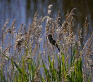 Great Reed Warbler, Falbod Faelled, Copenhagen, MJMcGill
