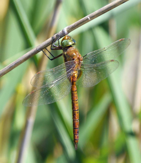 Green-eyed Hawker (Norfolk Hawker), Kalvebod Faelled, MJMcGill (1)_edited-1