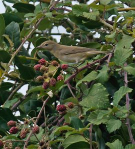 Garden Warbler, in my Whitminster garden, MJMcGill